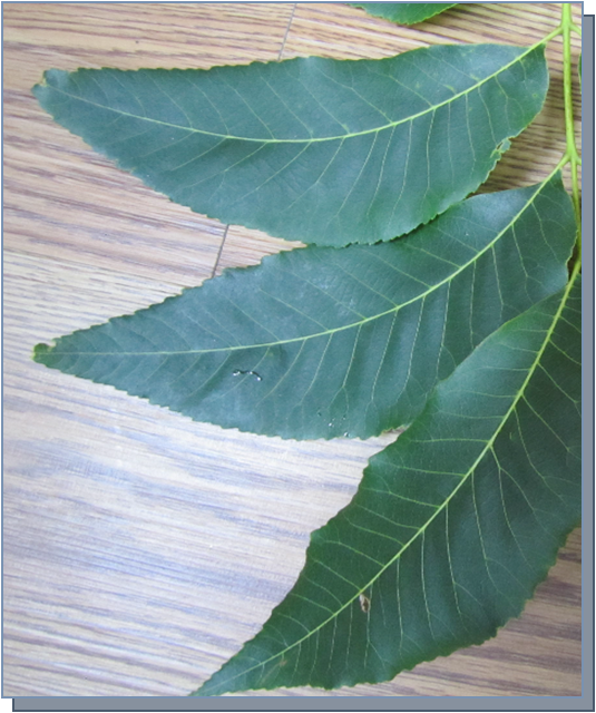 pecan leaves by deb and lou.png